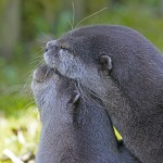 clawed-otter-2146072_640